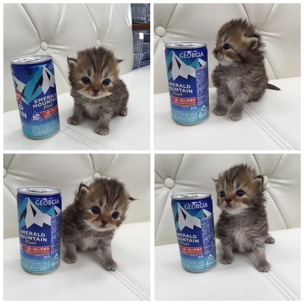 缶コーヒーと背比べする子猫マンチカン